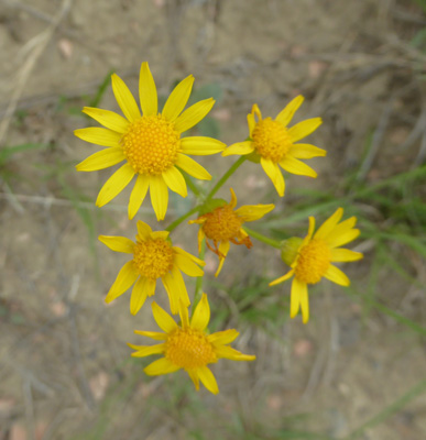 Wooly Groundsel (Packera cana)
