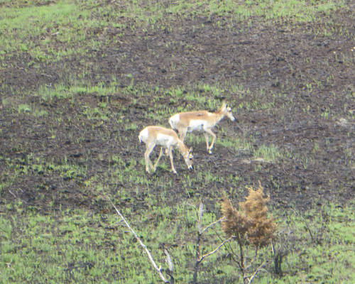 pronghorns on burned area