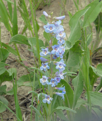 Waxleaf Penstemon (Penstemon nitidus)