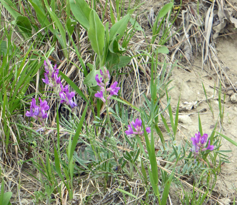 Purple Milkvetch (Astragalus agrestis)