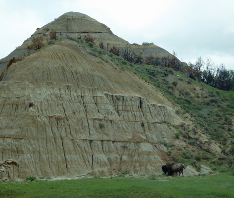 Bison in badlands