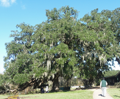 Live Oak with Spanish Moss