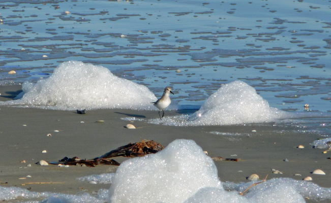 Sanderling beach foam