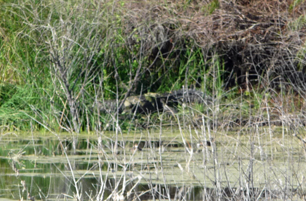 Alligator in weeds Aransas NWR