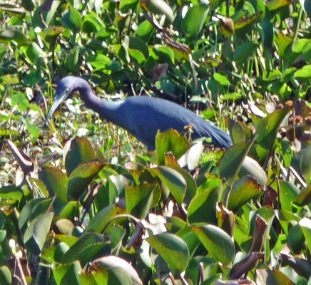 Little Blue Heron Brazos Bend SP