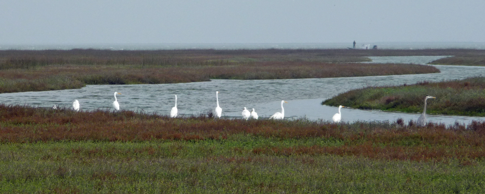 Great Egrets Matagorda