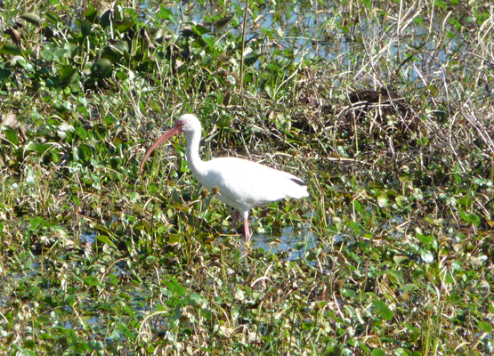 White Ibis Brazos Bend SP