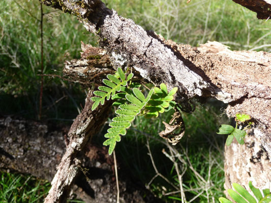 resurrection ferns (Pleopeltis polypodioides)