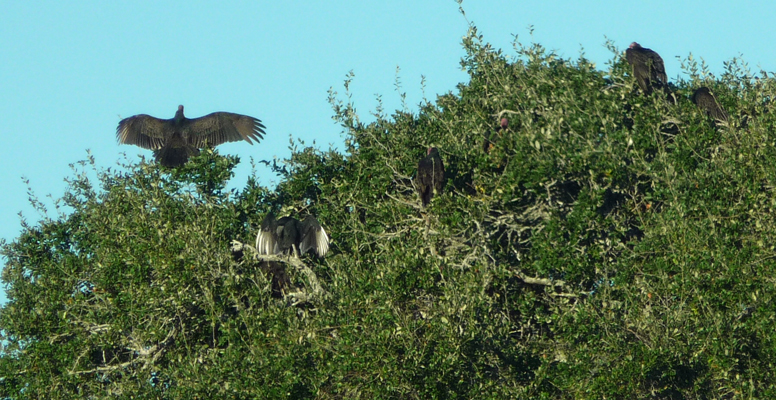 Vultures with wings spread in sun