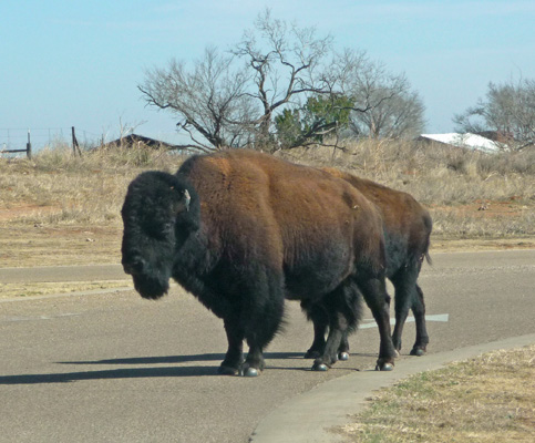Bison Caprock Canyons SP
