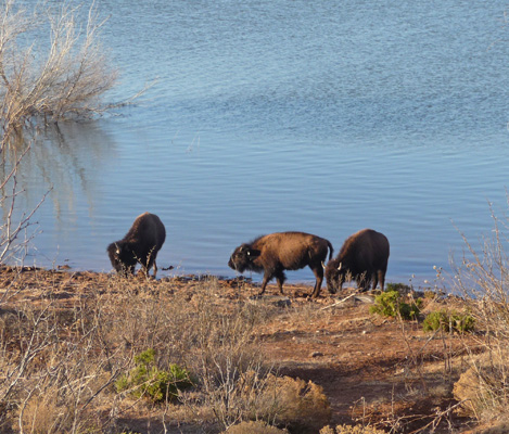 Bison at Lake Theo Caprock Canyons SP