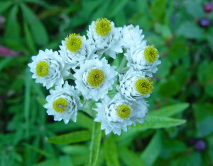 Pearly Everlasting along Tonga Ridge Trail WA