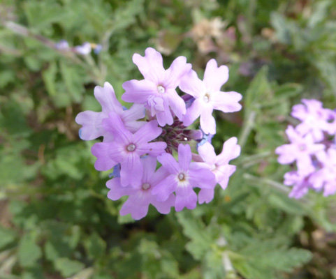 Gooding Verbena (Glandularia gooddingii)