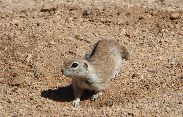 Arizona ground squirrel