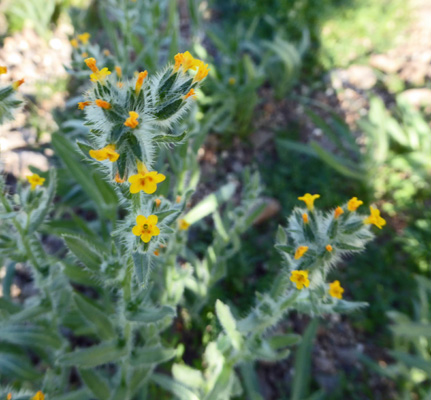 Fiddlenecks (Amsinckia menziesii)