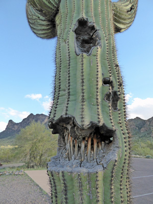 Saguaro cactus with skeleton revealed