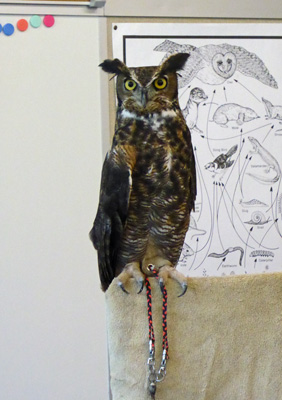 Scooter, a Great Horned Owl
