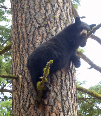 Black bear in a tree Wallowa Lake SP