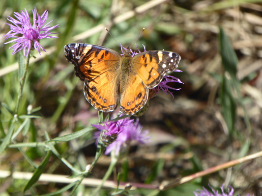Butterfly on knapweed Wallowa Lake