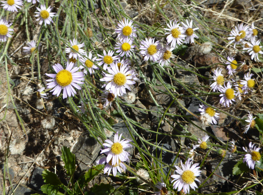 Tiny asters Wallowa Lake