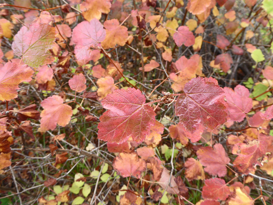 Ninebark fall color