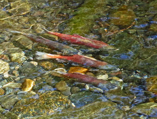 Kokanee Wallowa River